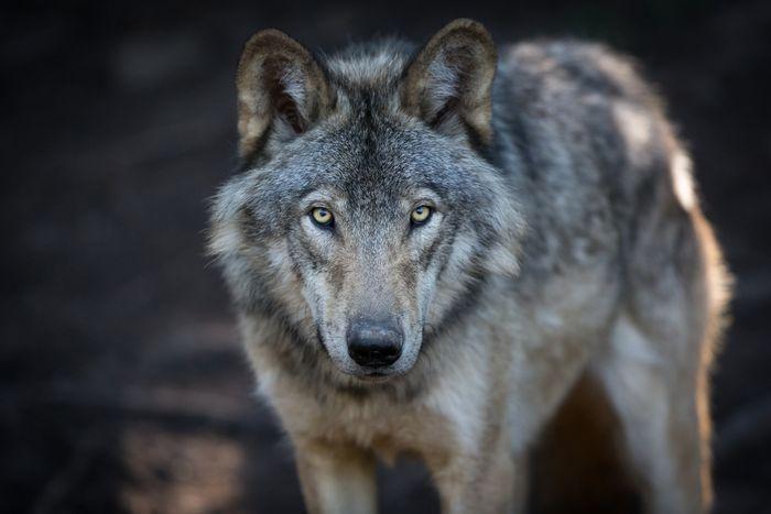 Пословицы и поговорки про волка
