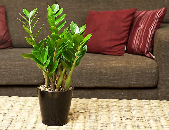 Долларовое дерево фото уход в домашних условиях